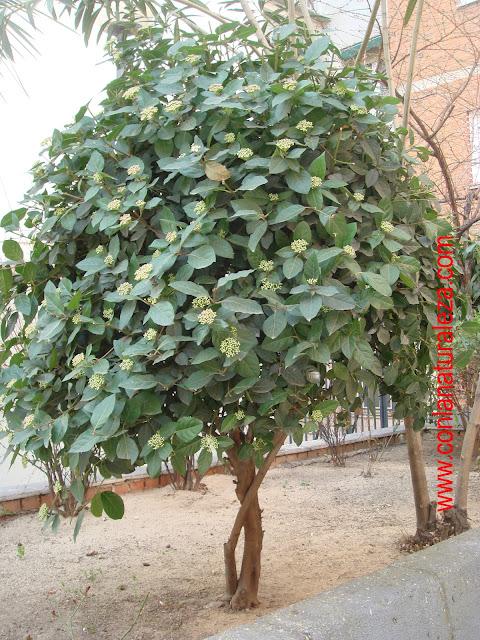 Flora urbana de getafe durillo for Lista de arboles perennes
