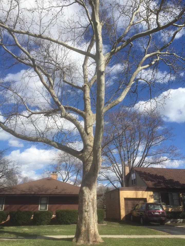The Natural Naturalist The Sycamore Tree