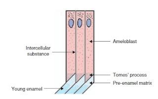 Enamel formation (amelogenesis)