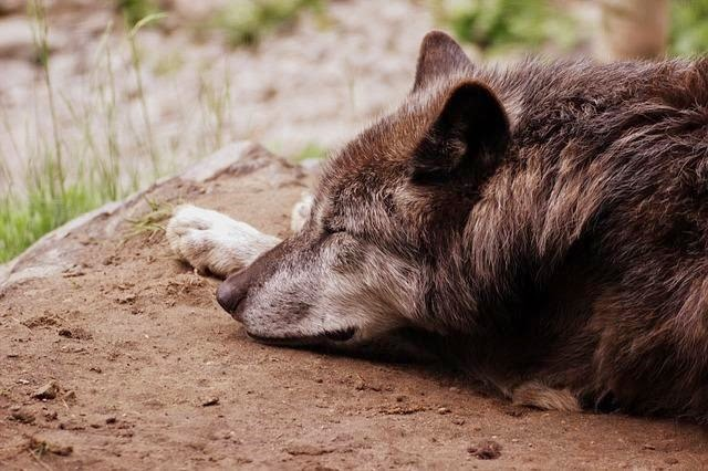 Wolf at Small Town Famers Market by Finding Joy Around Us