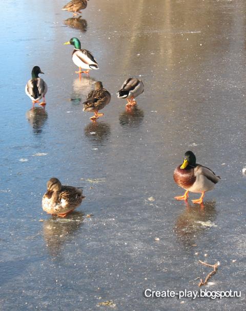 утки на льду