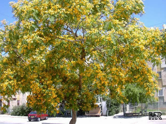 Yellow Jacaranda Rosewood Tipu Tree Pride Of Bolivia Hardy Evergreen Fast Growing With Bright Orange Flowers Best Choice For Those Who