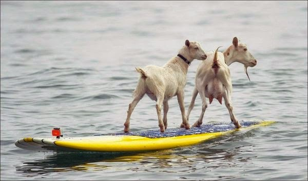 Sörf Yapan Çılgın Keçiler
