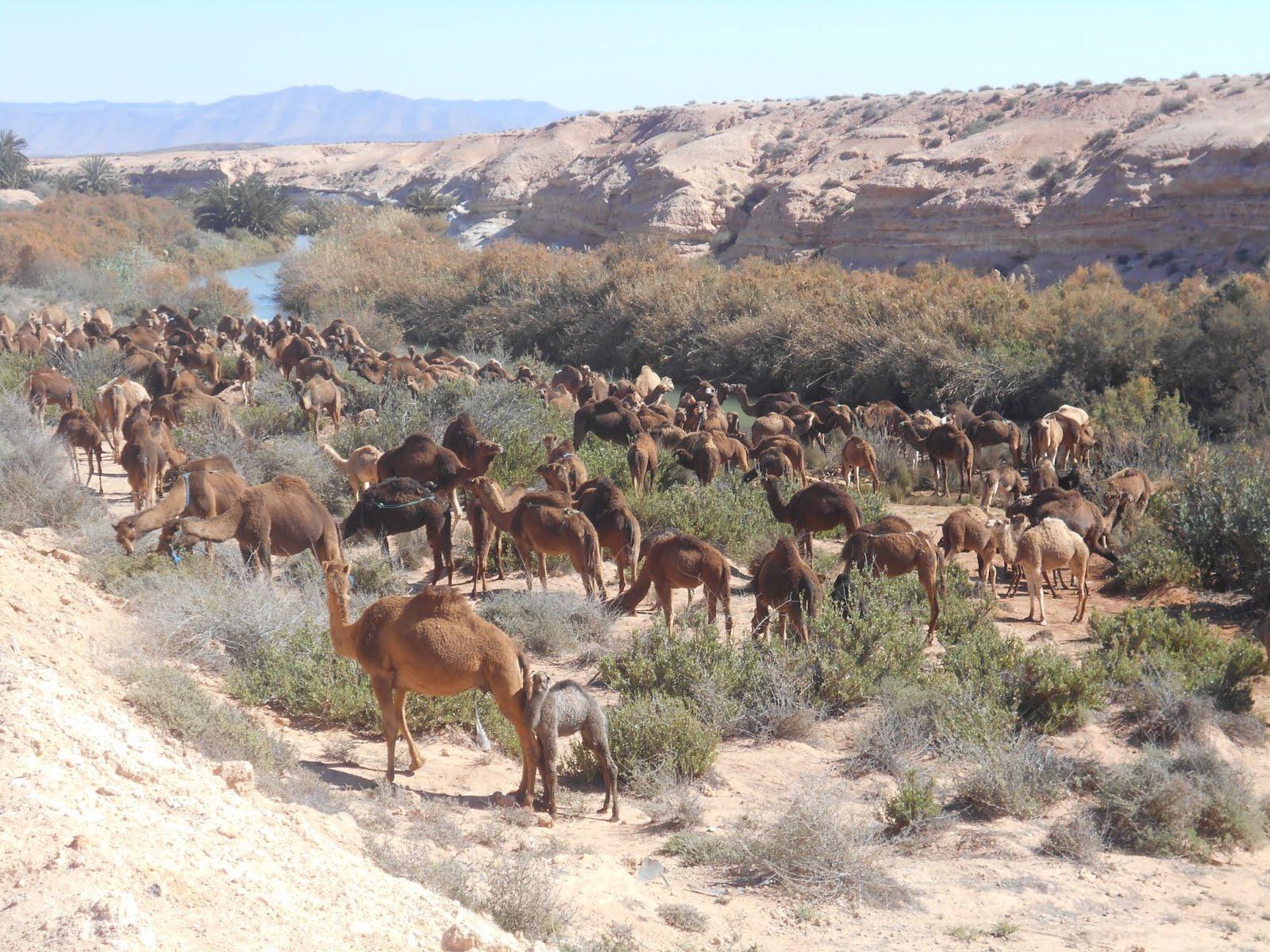 Dromedarissen in de Marokkaanse woestijn