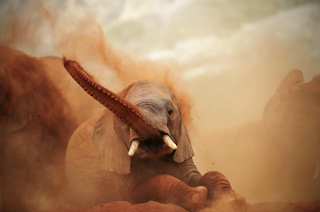 elephant crying in hot desert