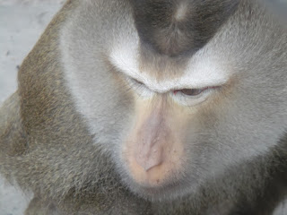 Northern Pig-tailed Macaque (Macaca leonina)