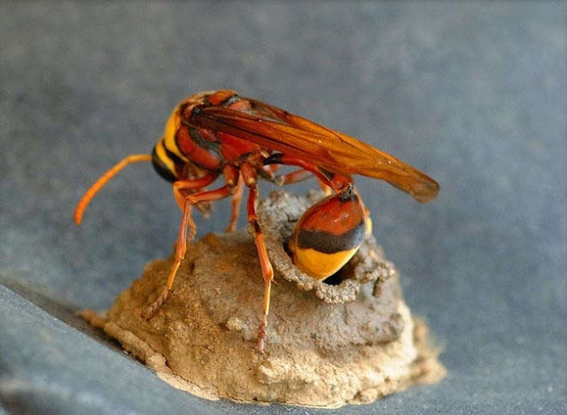 How wasps build their nests, wasp nest, how wasps make nests
