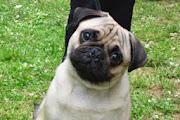 Pug Dogs HD