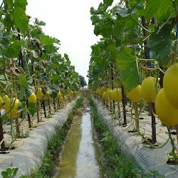 Pengertian Penyiangan Dan Tujuan Penyiangan Dalam Pertanian Cara