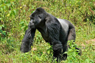 4 days Rwanda luxury gorilla with Lake Kivu,5 day Lake Kivu tour,6 day Kivu tour gorillas, 7 day kivu serena,  8 day rwanda gorillas relax kivu, 4 days gorilla tour rwanda, 9 day luxury safari rwanda, 10 day primates tour rwanda cheap Gorilla trek Rwanda, 11 day mid-price Rwanda gorilla tour, gorilla safari, budget tour rwanda, Rwanda, rwanda tour operator, rwanda tour company, gorilla tour agent, gorilla