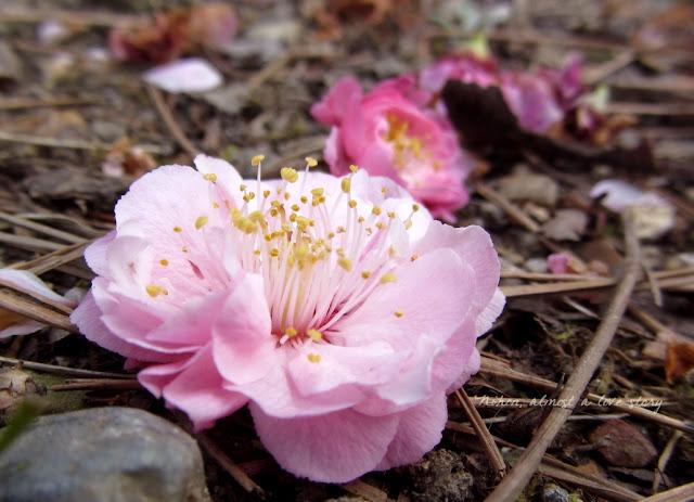 Ume flowers