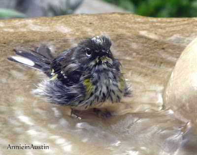 Annieinaustin, angry yellow-rumped warbler