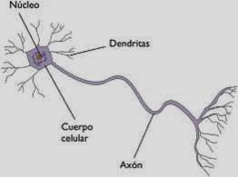 http://roble.pntic.mec.es/cgee0003/2esobiologia/2quincena9/imagenes1/neuronas.swf