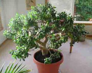 jade plant care for good growing. Black Bedroom Furniture Sets. Home Design Ideas