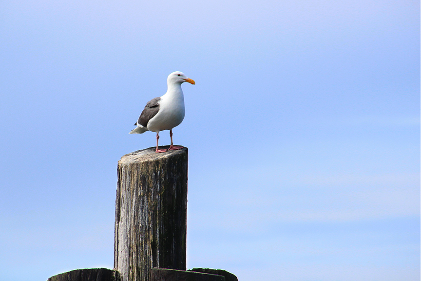 Bodega Bay Sea Gull