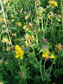 Greater Birds foot Trefoil