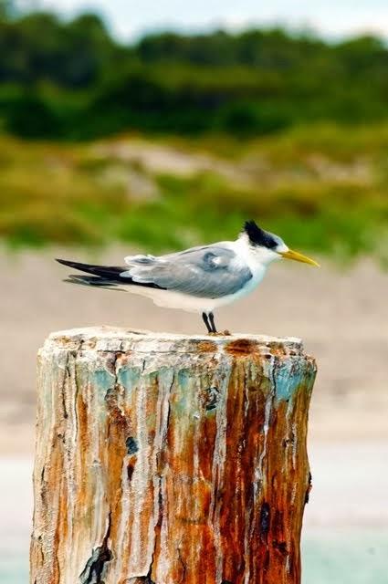 Lesser Crested Tern 1663