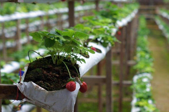 Strawberry Farm Malaysia Genting Strawberry Farm