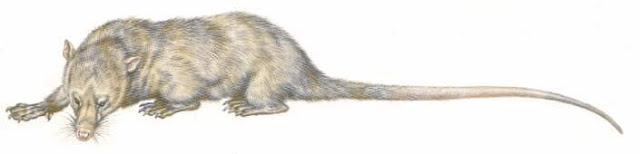 mamiferos del paleoceno Palaeoryctes