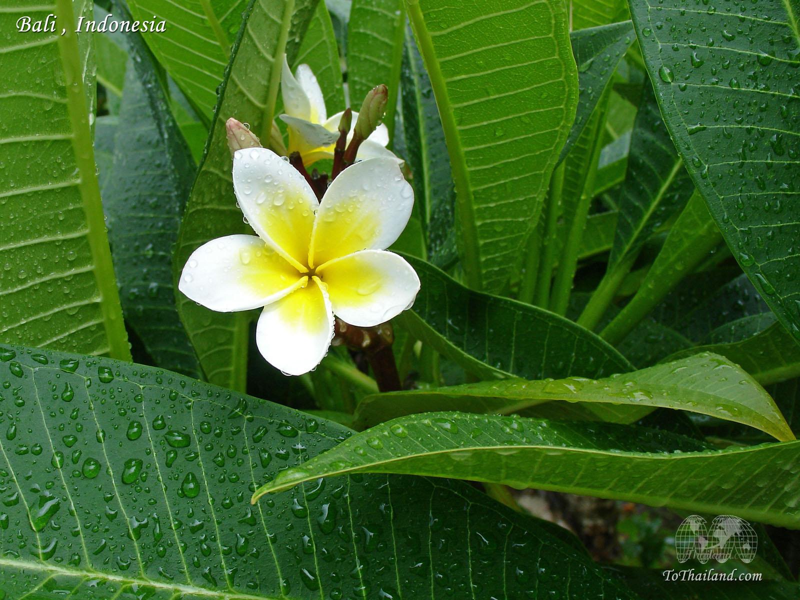 Цветы индонезии