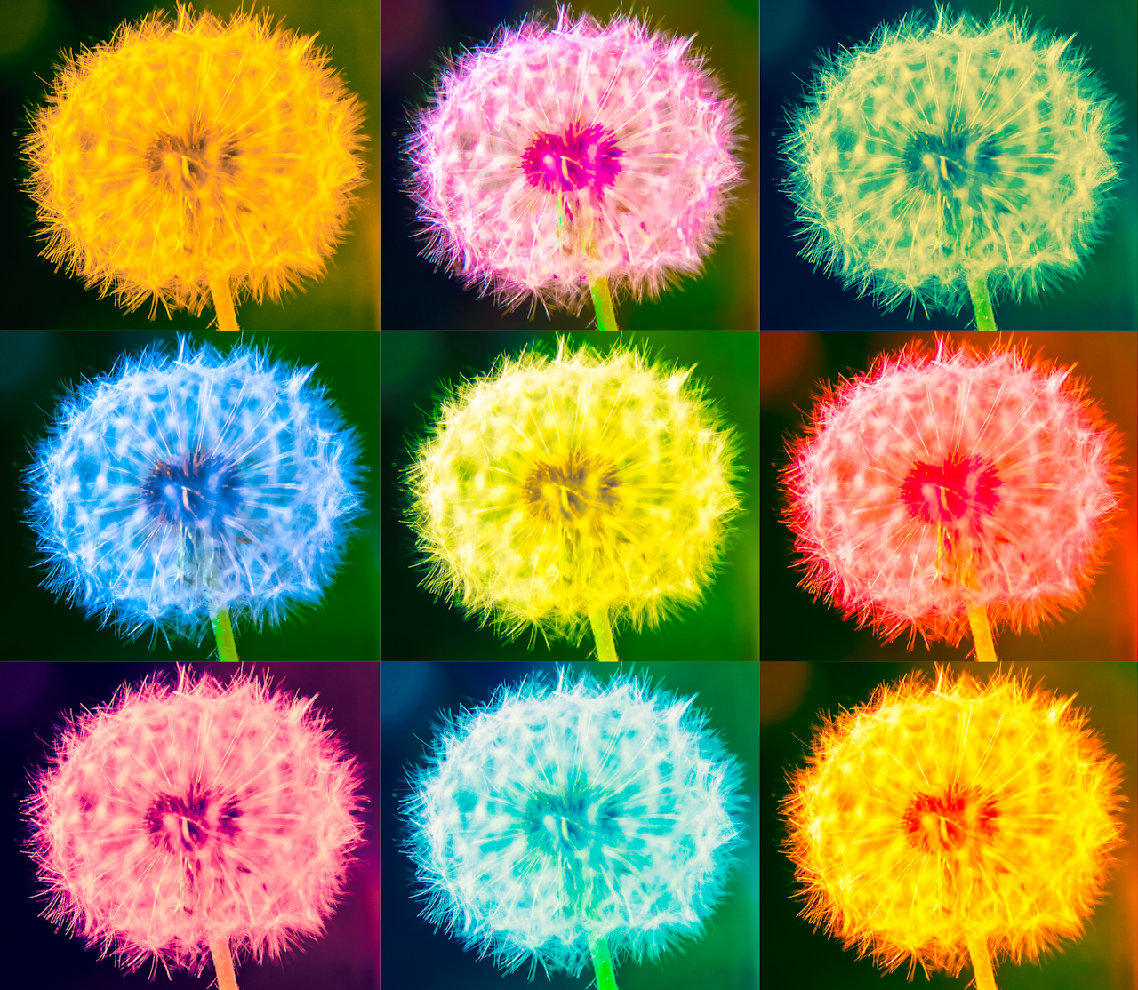 Desktophintergrund Pusteblumen