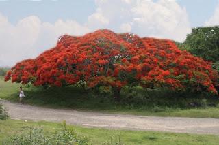 La hermosura del Flamboyan Manzanillero