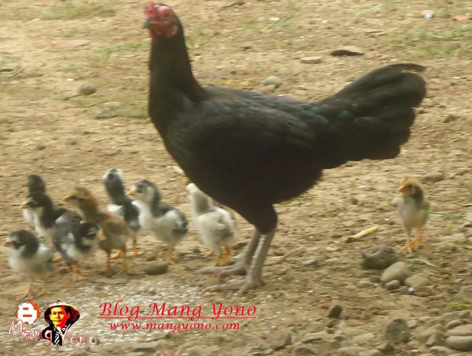 Cara Mengobati Ngorok Atau Folk Pada Ayam