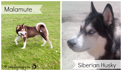 Whats The Difference Between A Siberian Husky And An Alaskan Malamute