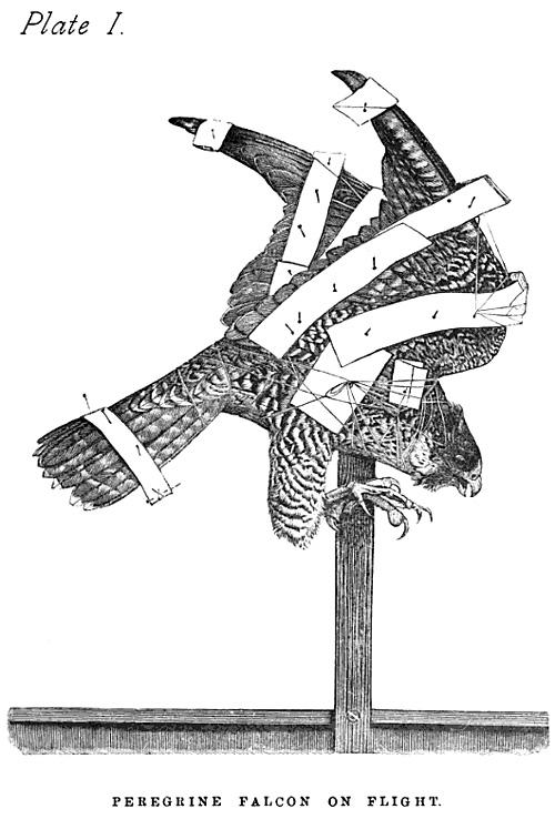 Peregrine Falcon On Flight