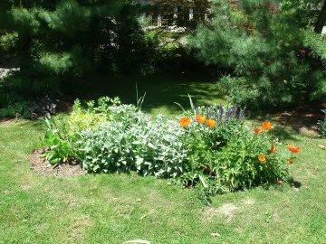 New garden bed with lamb's ears, salvia, coreopsis, oriental poppy by garden muses: a Toronto gardening blog