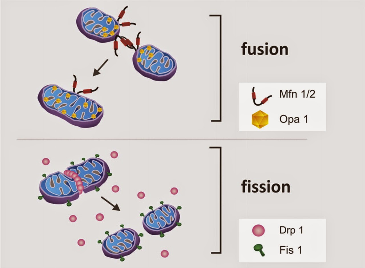 Blocking Drp1, in mitochondrial fission, reduced cell death and reversed the Parkinson's process.