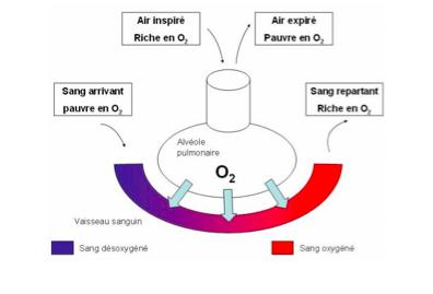 échange alveole pulmonaire