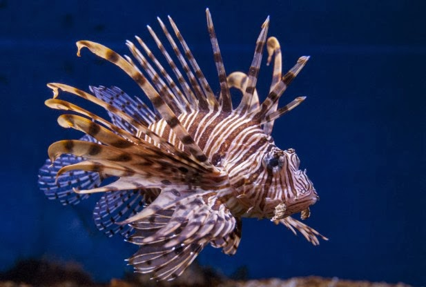 Lionfish Invasion in t...