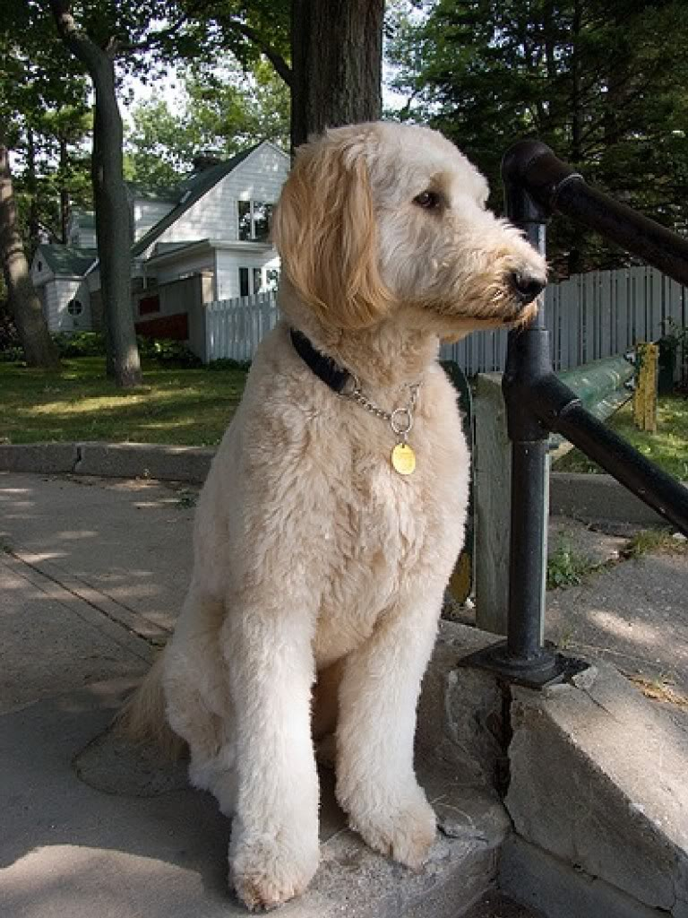 Goldendoodle Haircut Pictures | newhairstylesformen2014.com