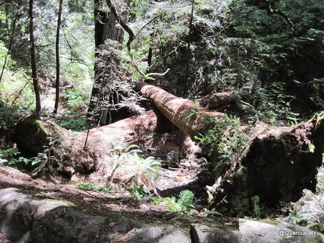 "Gigantescos árboles muir formando una ""x"""