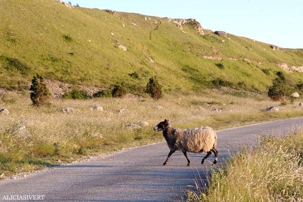 aliciasivert, alicia sivert, sivertsson, hoburgen, gotland, semesterlivet, får, lamm, sheep