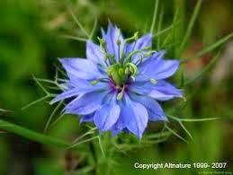 tumbuhan Habbatussauda