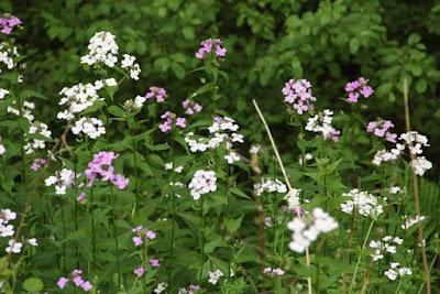 dame's rocket flowers