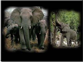 gambar_gajah_afrika_dua