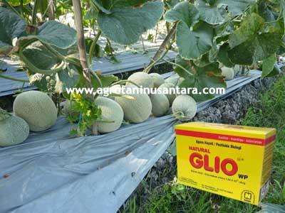 Solusi Melon Terbebas dari Jamur dengan Natural GLIO dari NASA | Agro Nusantara - www.agrotaninusantara.com