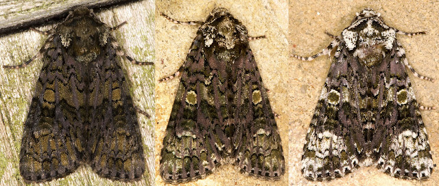 Three Coronet moths, Craniophora ligustri.  Hayes, 2013.