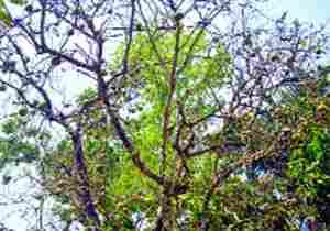 পুষ্টিগুণে সমৃদ্ধ শ্রীপুরের বেল