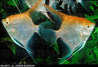 Angelfish image
