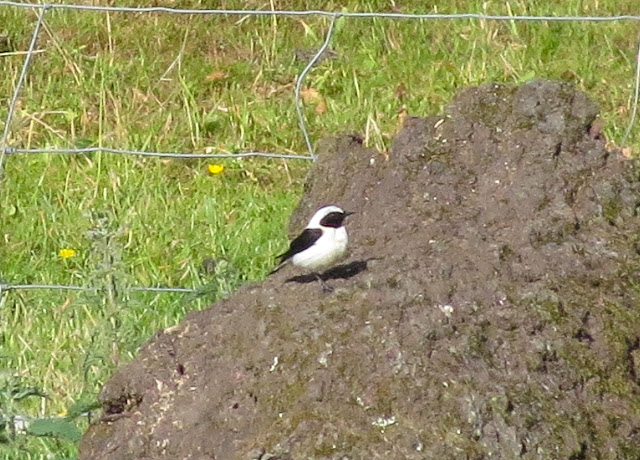 Black-eared Wheatear, Acres Down, New Forest - Hampshire