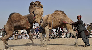 Camel Fighting