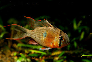 Fish tank requirements for colorful freshwater fish african cichlids