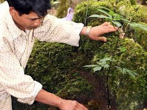 Bảo tồn và phát triển sâm Ngọc Linh tại Kon Tum