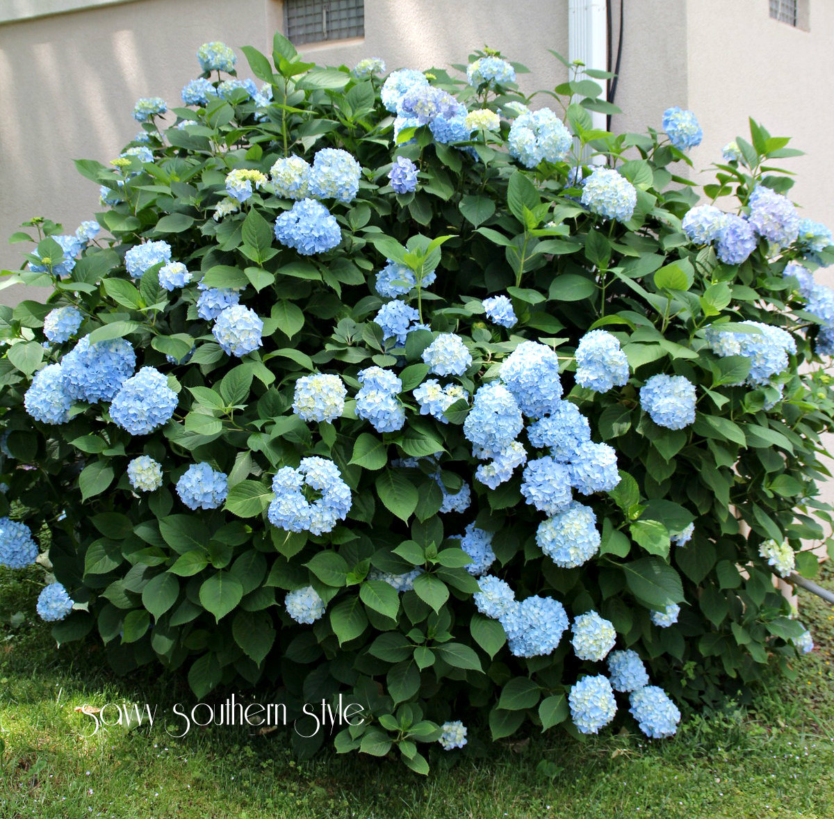 here is my hydrangea bush this year it is huge and exploding with blooms - Hydrangea Bush