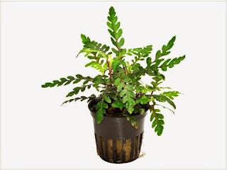 gambar-Hygrophila-Pinnatifida-tanaman-stem-aquascape