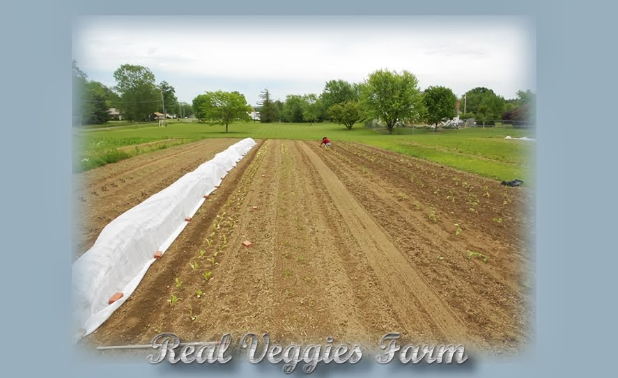 Real Veggies Farm Blog